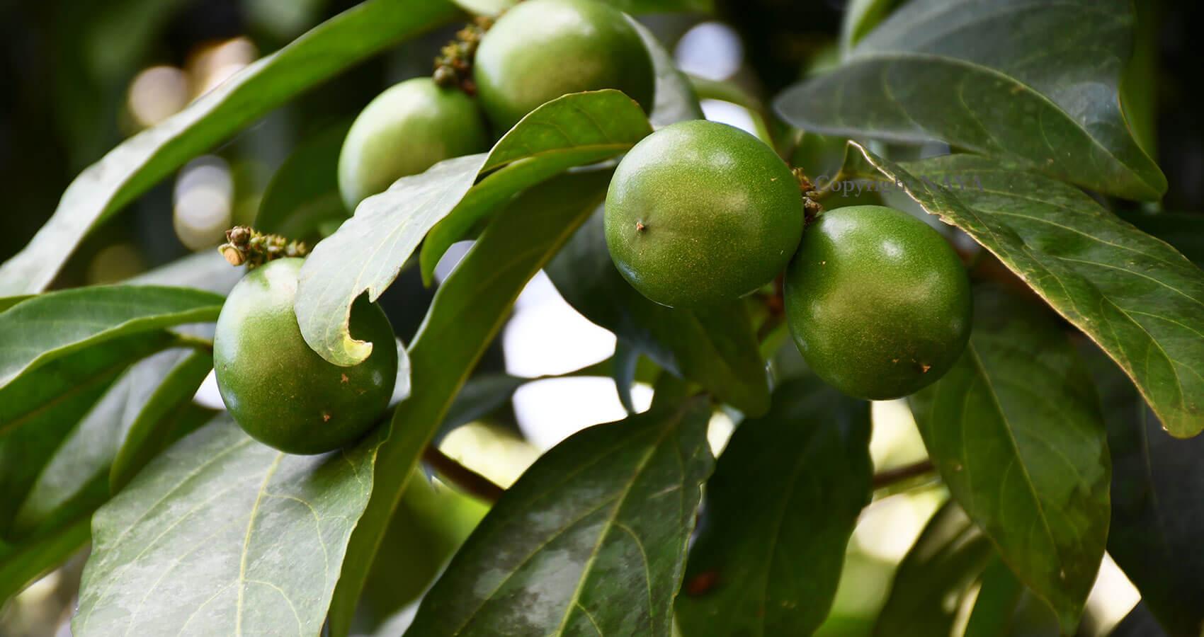 Cacay Baum