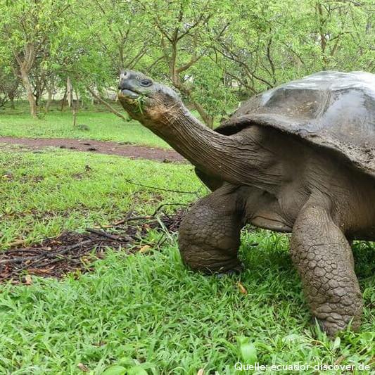 Schildkröte auf Galapagos