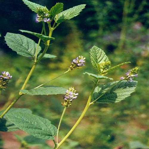 Plantsuniverse - Babchi Plant